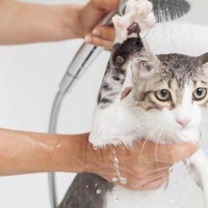 Как помыть кота — пошаговая инструкция как просто и быстро искупать кошачьих в домашних условиях (80 фото)